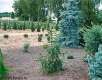 Picea abies 'Cranstonii Pendula'