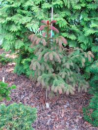 Picea abies 'Cruenta'