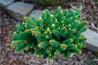 Picea abies 'Czadeczka'