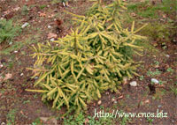 Picea abies 'Dandylion'