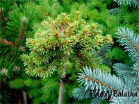 Picea abies 'Dlouha Stran Nr1'