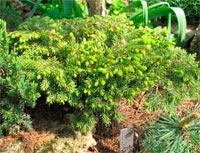 Picea abies 'Doubice'