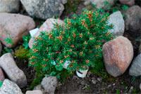 Picea abies 'Dundaga'