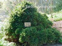 Picea abies 'Echiniformis'