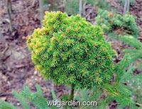 Picea abies 'Edelbauer'