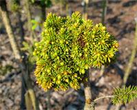 Picea abies 'Ehinger'
