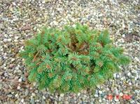 Picea abies 'Faber'