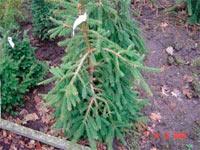 Picea abies 'Farnsburg'