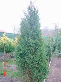 Picea abies 'Fastigiata' (syn. P. abies 'Cupressina')