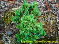 Picea abies 'Florian'