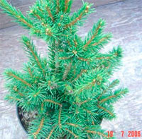 Picea abies 'Four Winds'
