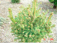 Picea abies 'Frank'