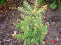 Picea abies 'Frank Esch'