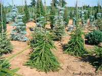 Picea abies 'Frohberg'