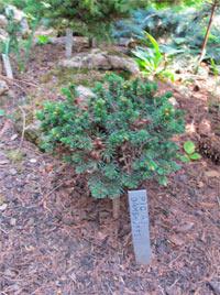 Picea abies 'Gamshutte'