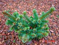 Picea abies 'Gert'