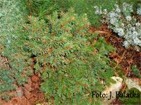 Picea abies 'Golcuv Jenicov'