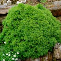 Picea abies 'Gregoryana'