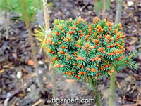 Picea abies 'Grub Nr1'