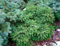 Picea abies 'Gull's Nest'