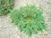 Picea abies 'Hana-Chutes'