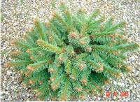 Picea abies 'Hartl'