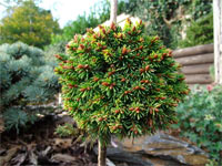Picea abies 'Hate'