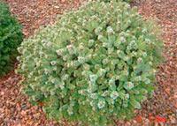 Picea abies 'Hexe Orstryann'