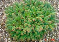 Picea abies 'Hexenbesen 117'