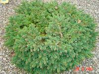 Picea abies 'Hexenbesen 39'