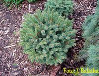 Picea abies 'Hlavacov'