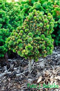 Picea abies 'Holenice Nr3'
