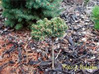Picea abies 'Horka CR'