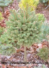 Picea abies 'Horni Hrad'