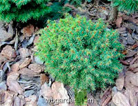 Picea abies 'Hradok'
