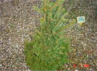 Picea abies 'Humilis'