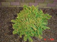 Picea abies 'Humilis Hution'