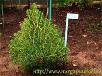 Picea abies 'Janous'