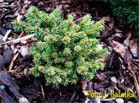 Picea abies 'Jarmila'