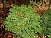Picea abies 'Jeleni Kout'
