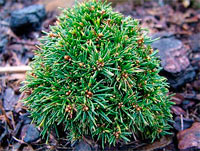 Picea abies 'Jessy'
