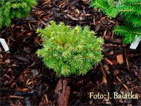 Picea abies 'Jezborice'