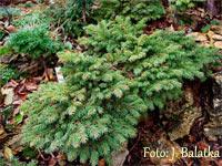 Picea abies 'Jilove'