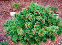 Picea abies 'Jumava-24'