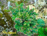 Picea abies 'Kaliste'