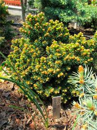 Picea abies 'Kamberk №2'
