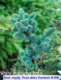 Picea abies 'Kamberk №3'