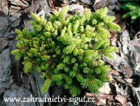 Picea abies 'Kamenicna'