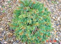 Picea abies 'Keferbock-Nr1'