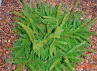 Picea abies 'Kenwith'